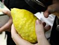 Eine Etrog-Frucht, die für das jüdische Laubhüttenfest gebraucht wird