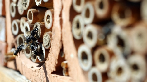 Mauerbienen an einem Insektenhotel