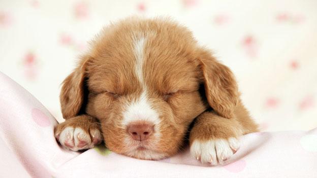 Schlafender Hundewelpe