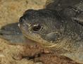 Eine junge Batagur-Schildkröte