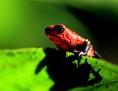 Regenwald: Roter Frosch auf einem grünen Blatt