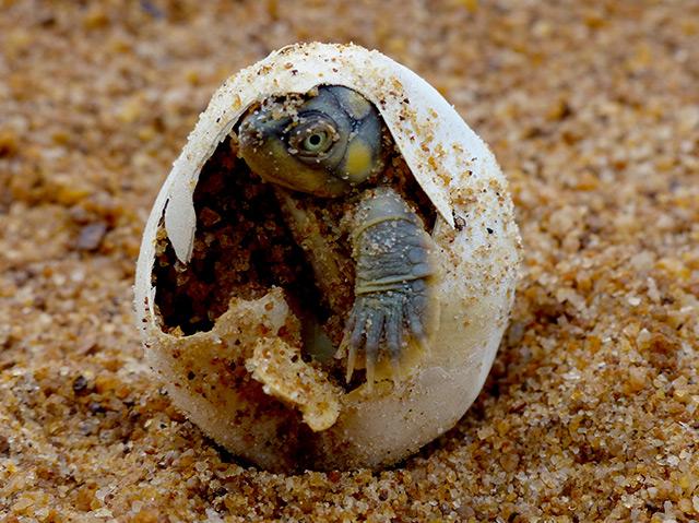 Eine Batagur-Schildkröte schlüpft gerade