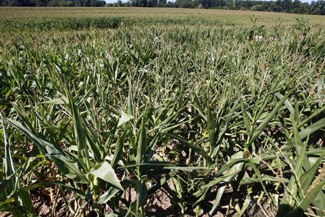 Gentechnisch modifizierter Mais