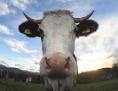 Kuh von vorne