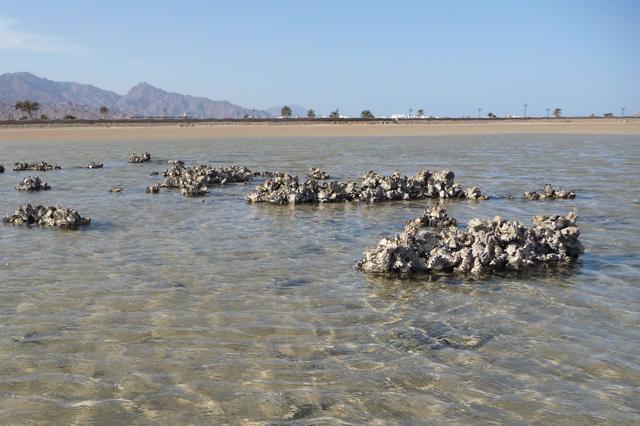 Die Auster Saccostrea cucullata