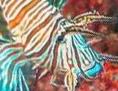 Ein Exemplar des Rotfeuerfisch