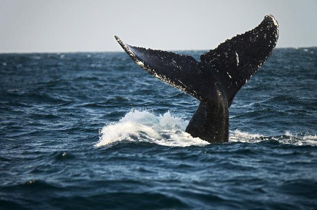 Schwanzflosse eines Buckelwals ragt aus dem Wasser
