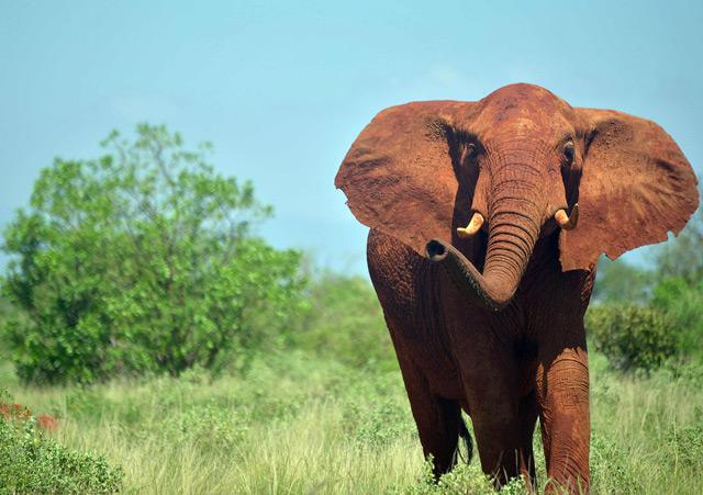 Afrikanischer Elefant in Kenia