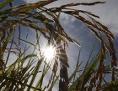 Reispflanzen im Sonnenlicht