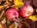 Äpfel im Laub
