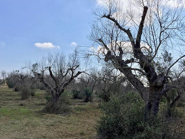 Vetrocknete Olivenbäume in Apulien