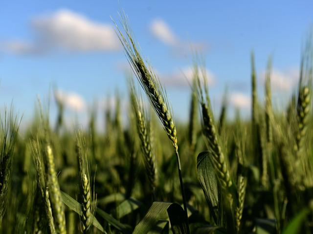 Grünes Weizenfeld unter blauem Himmel