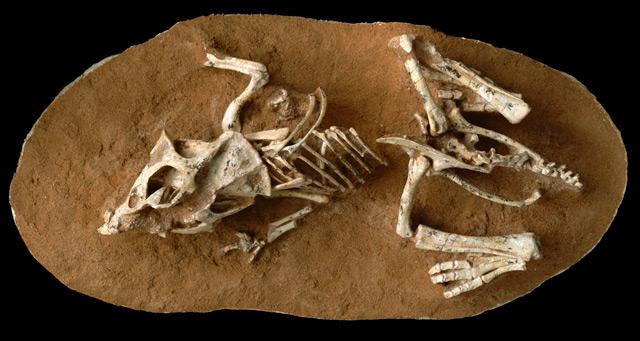 Überreste eines Protoceratops-Embryos
