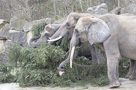 Elefanten knuspern im Tiergarten Schönbrunn an einer Tanne