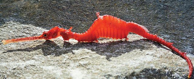 Toter Roter Seedrachen