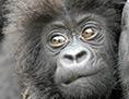 Gesicht eines Gorillababys