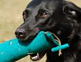Ein schwarzer Retriever hält Beutestücke im Maul