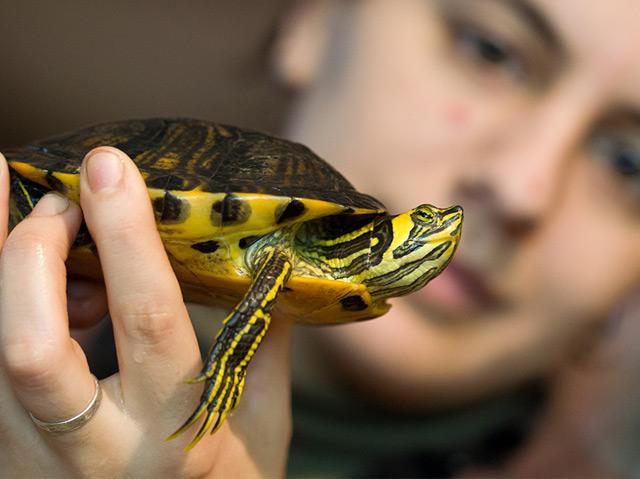 Gelbwangen-Schmuckschildkröten auf der Hand an einer Frau