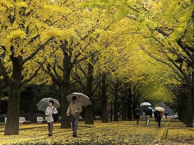 Allee mit Gingkobäumen in Tokio