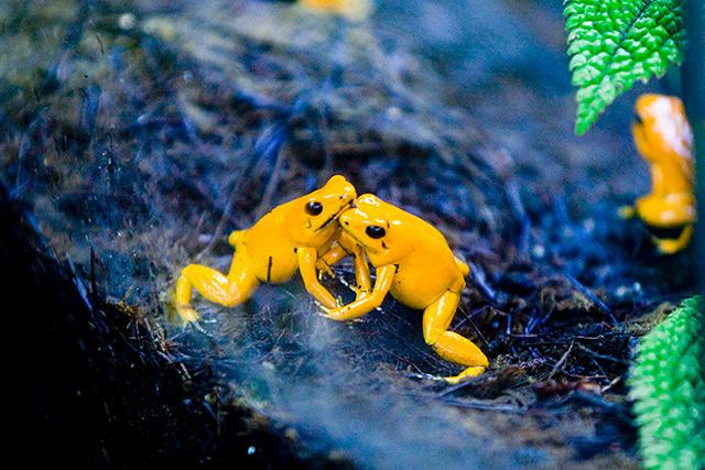Zwei gelbe Pfeilgiftfrösche