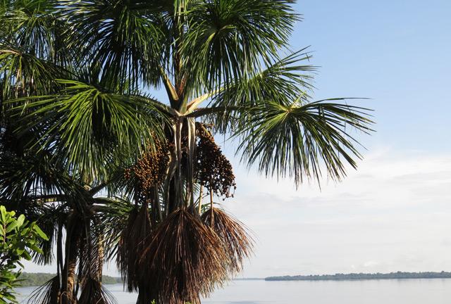 Mauritia flexuosa Buriti-Palme