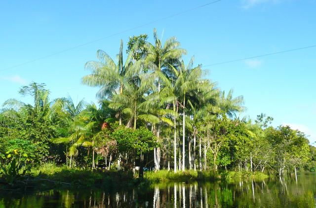 Euterpe precatoria Palmenart im Amazonas