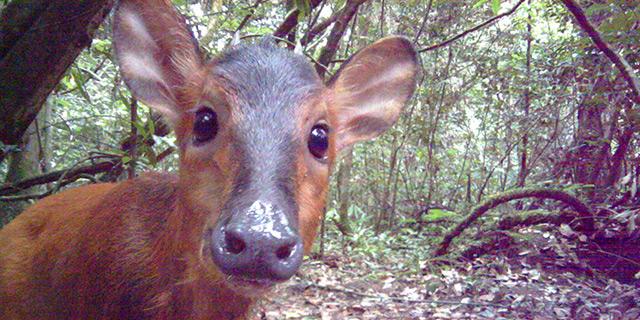Antilope in einer Kamerafalle in Gabun