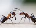 Ameisen streiten