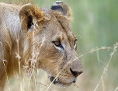 Löwe in geduckter Haltung im hohen Gras