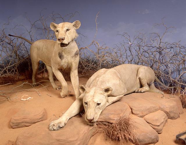 Zwei ausgestopfte Löwen im Museum
