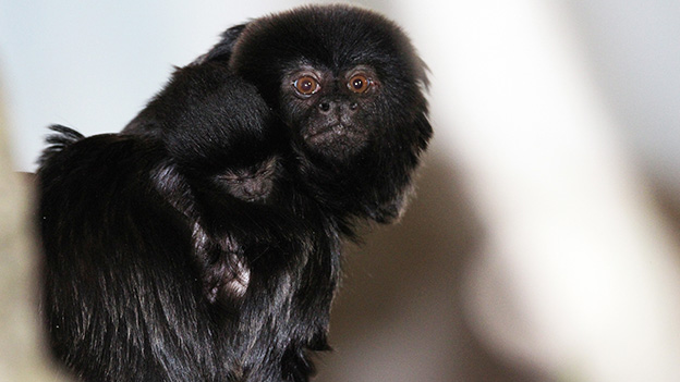 Mamaaffe mit Baby