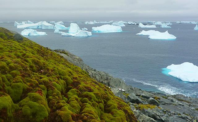 Üppige Moosflächen vor Meer mit Eisbergen
