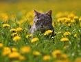 Katze im Löwenzahn