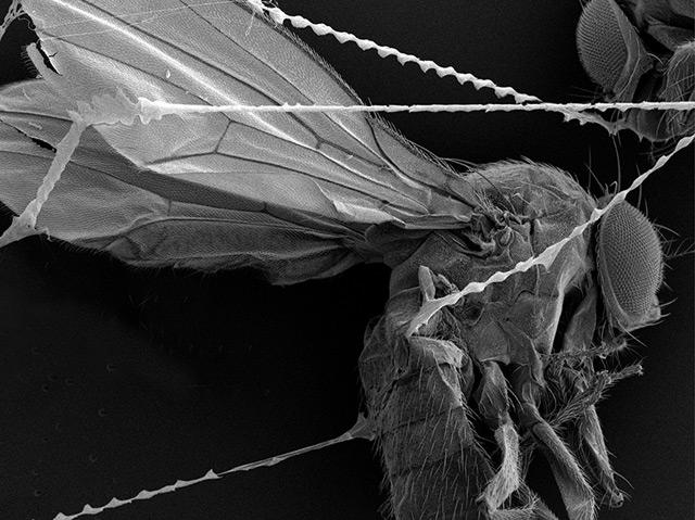 Fruchtfliege im Netz - unter dem Mikroskop