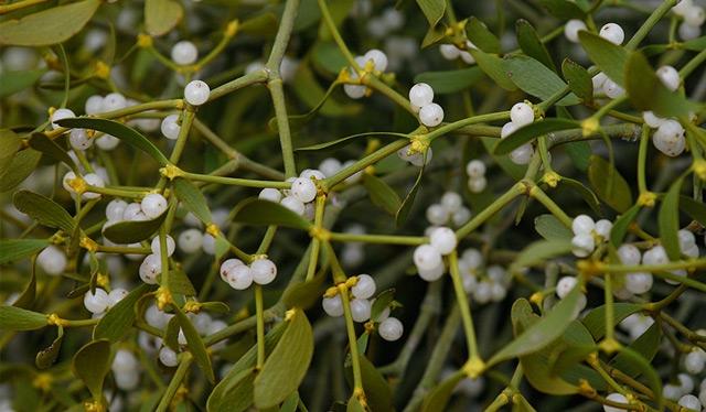 Mistelzweige mit weißen Früchten