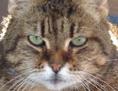 Irmi, eine wohlgenährte europäische Hauskatze