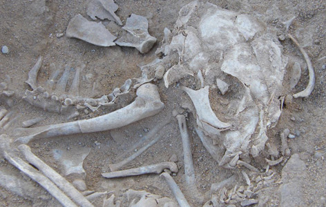 Knochen einer vor 6.000 Jahren in Hierakonpolis verstorbenen Katze