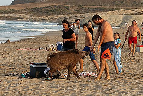 Wildschwein taucht auf Strand auf und erschreckt Urlauber