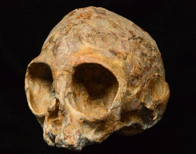 Schädel von Nyanzapithecus alesi