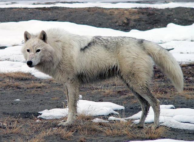 Wolf in der Arktis