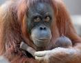 Orang-Utan-Mutter mit Nachwuchs