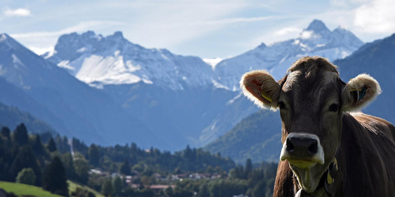 Kuh vor Bergkulisse