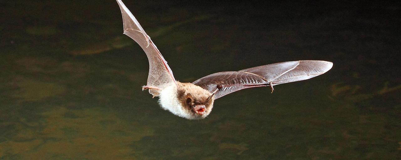 Gestresste Fledermäuse übertrugen das Virus