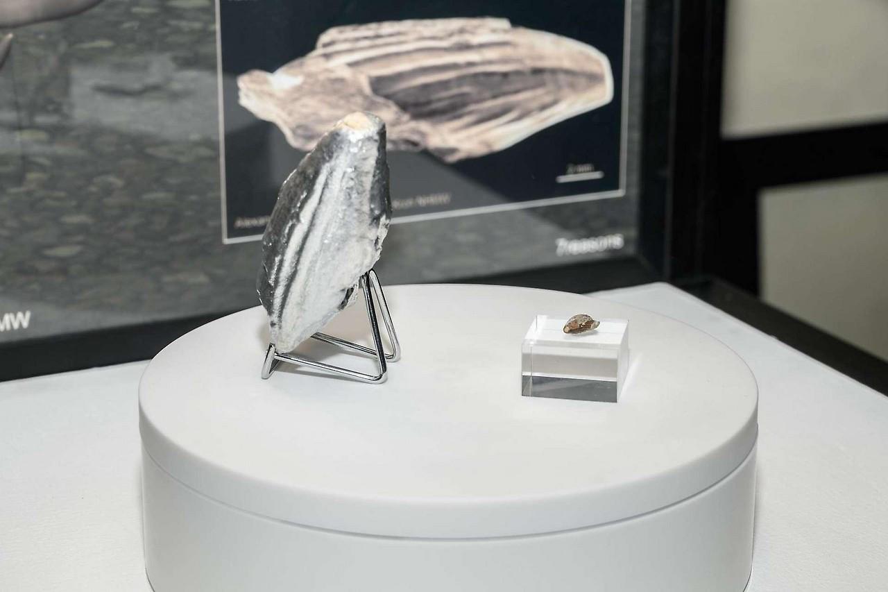 Original und Modell des Pliosaurier-Zahns am NHM