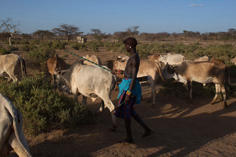 Ein Kenianischer Hirte treibt sein Vieh heim.