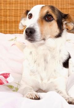Kleiner Hund  im Bett