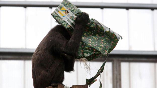 Gorilla im Zoo mit Geschenk