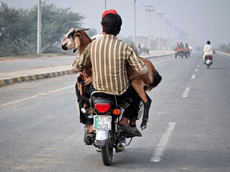 Ein pakistanischer Muslim transportiert eine Ziege für das Opferfest auf einem Mofa