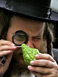 Ein chassidischer Jude untersucht eine Etrog-Frucht.