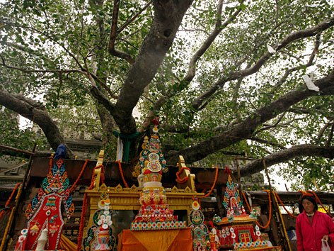 Der den Buddhisten heilige Bodhi-Baum